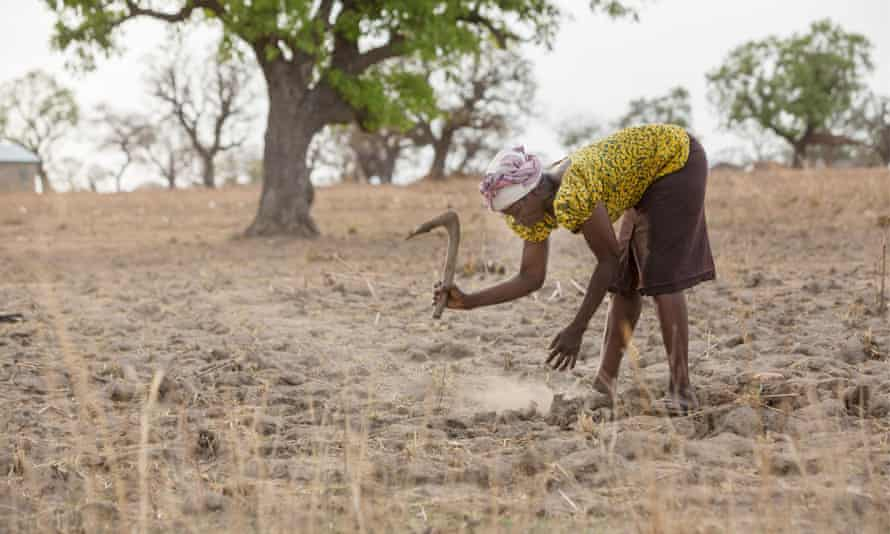 Farmer cultivating maize in dry field