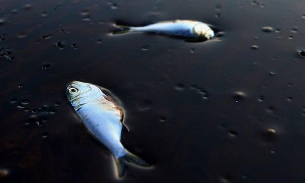 Dead porgy fish stuck in oil