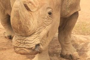 A rhinoceros named 'Sudan' at Ol Pejeta Conservancy in Kenya.