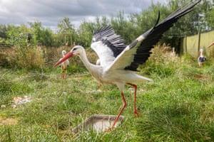 White storks at Derek Gow's farm