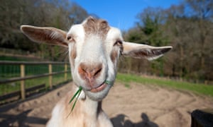 no kidding man s new best friend is a goat science the guardian
