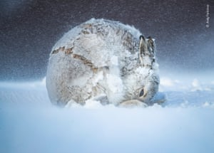Mountain hare in a ball