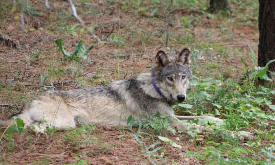 A young male gray wolf known as OR-93 made his trek into California from Oregon earlier this year.