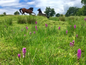 Lively ponies behind orchids at Roydon Common in West Norfolk