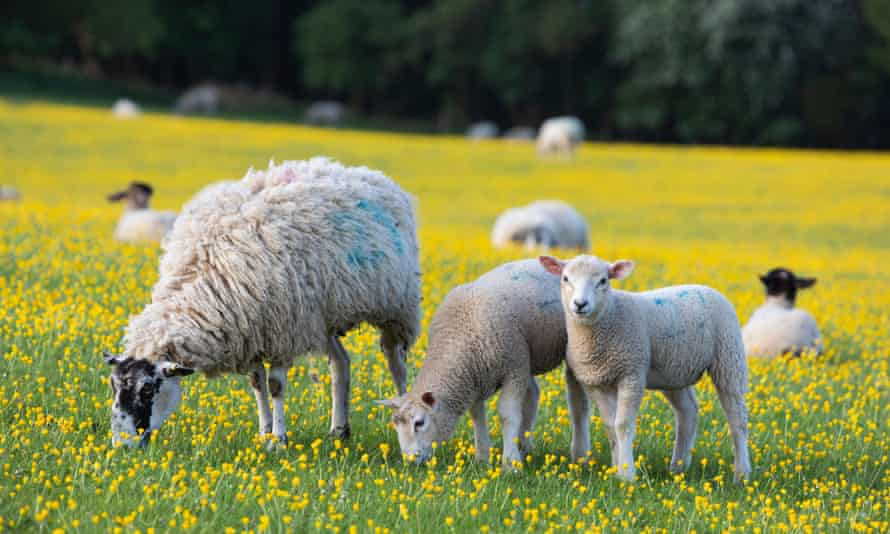 Sheep and lambs grazing in a field in the Cotswolds.