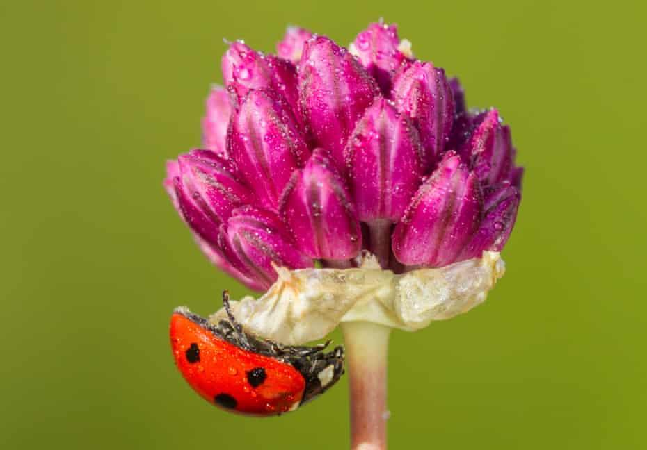 Bristol onion Allium sphaerocephalon, in flower, with seven-spot ladybird on it