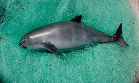 The WWF has called for Mexico to enforce a permanent ban on gillnets which trap the rare marine mammal, the vaquita.