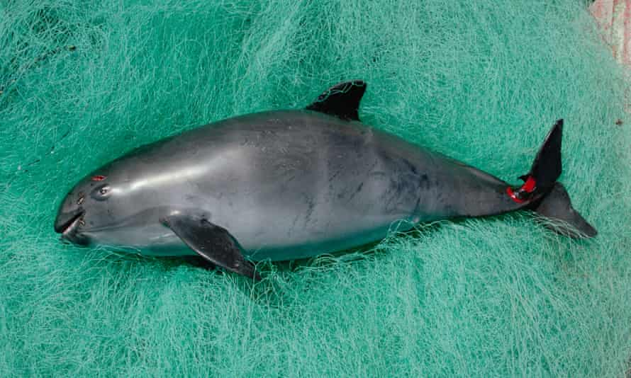 A vaquita caught in gill net in the Gulf of California, Mexico.