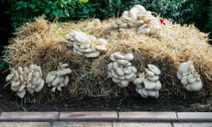 Oyster mushrooms, which grow in a wide range of conditions, on straw.