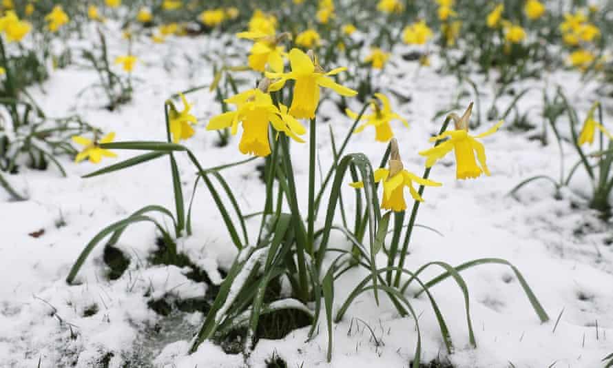 Daffodils in Greenwich Park, London