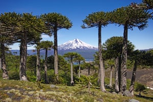 Araucaria araucana, the monkey puzzle tree. Sierra Nevada, Chile, Patagonia, Andes, Conguillio National Park