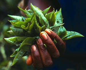 Green to blackThese tea leaves plucked on a Kenyan estate will end up black after a traditional process of wilting, maceration, oxidation and drying Photograph: RichardDerwent/GuardianWitness