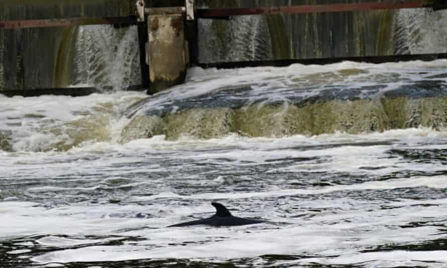 The minke whale pictured at Teddington lock on Monday