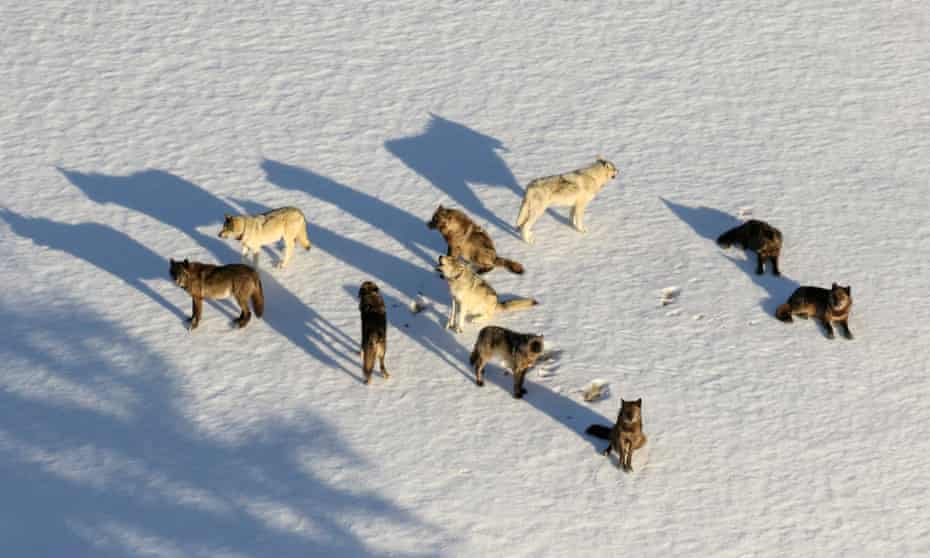The Junction Butte wolf pack in Yellowstone National Park, Wyoming.