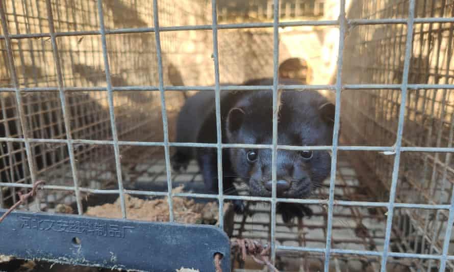 Mink fur farms in Asia