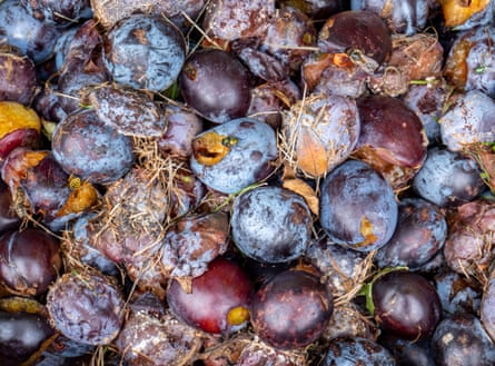 decaying plums