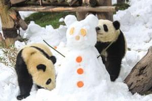 Pandas playing at the Chengdu Research Base of Giant Panda Breeding in Chengdu.