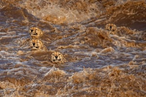 A coalition of cheetahs struggle to keep their heads above water after heavy storms caused nearby rivers to burst their banks at the Maasai Mara national reserve.