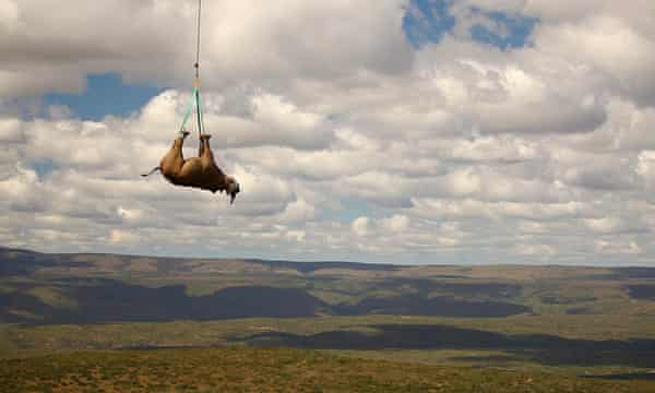South Africa plans to translocate rhinos to Australia due to pressures of poaching.