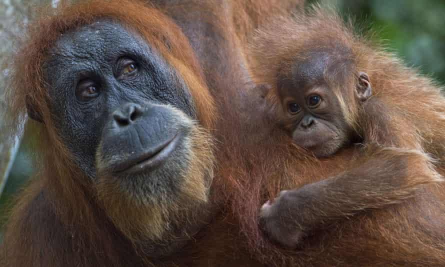 A critically endangered Sumatran orangutan with a baby