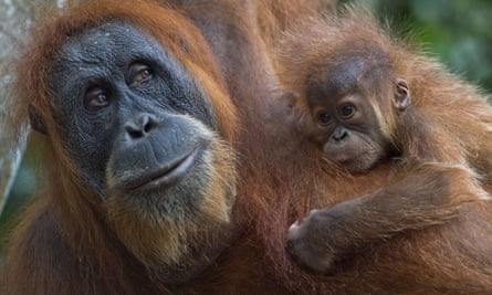 An orangutan with a baby clings on tree branches in the forest of Bukit Lawang, Indonesia