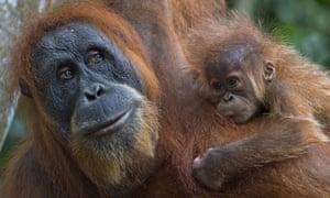 A Sumatran orangutan and its baby