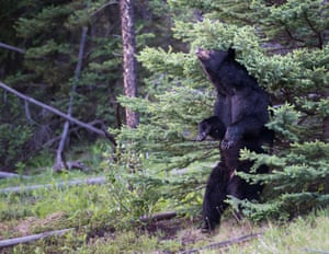 A black bear scratches his back in the Rocky Mountain wilderness, Canada