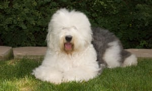 Dog days: the old English sheepdog is now on the Kennel Club's 'at watch' list.