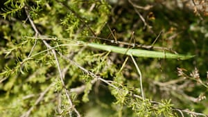 A Clitarchus hookeri sexual pair