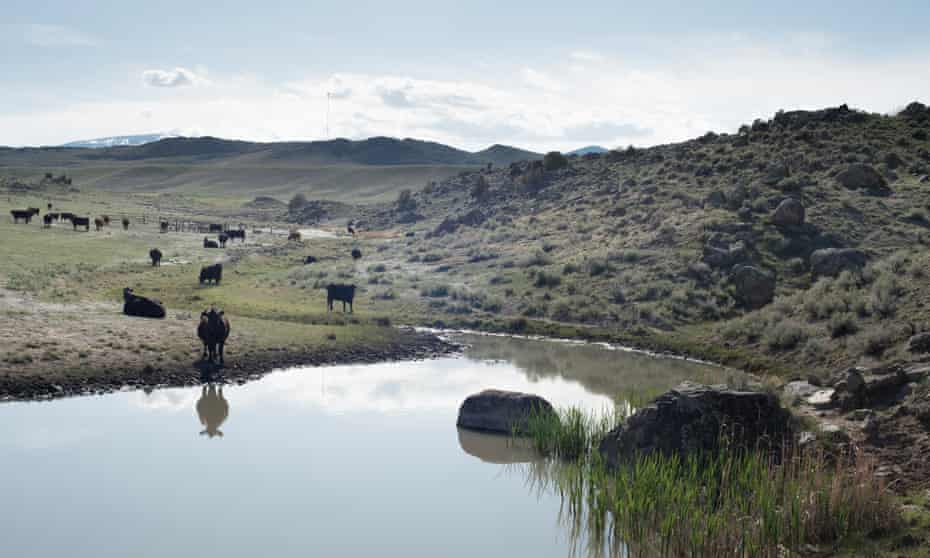 Cows water at a stock pond on Jim Hagenbarth's ranch near Dillon, Montana.