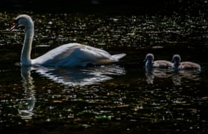 A swan is followed by two cygnets as it swims in a pond in Berlin, Germany. Cygnets typically stay with their parents for the first six months, after which time they are chased off to fend for themselves