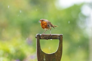 A robin perches on a spade handle in a garden in north Wales