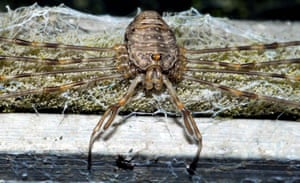 Dicranopalpus ramosus aligns its legs in parallel