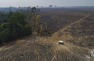 Cattle graze on land recently burned and deforested by farmers near Novo Progresso, Pará state, Brazil.