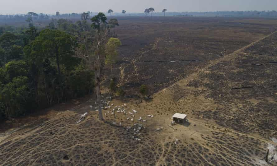 Cattle graze on land recently burned and deforested by farmers near Novo Progresso, Para state, Brazil. Environmental groups and indigenous activists from the Amazon region filed a lawsuit on March 3, 2021 alleging that a France-based supermarket chain is violating human rights and the environment by selling beef linked to deforestation and land grabs. (AP Photo/Andre Penner, File)