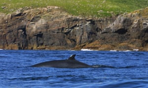 A minke whale seen off the Hebrides, Scotland.