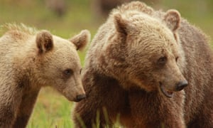Hunting pressure has resulted in more females keeping their cubs for 2.5 years. Over a 10-year period the figure rose from 7% to 36%.