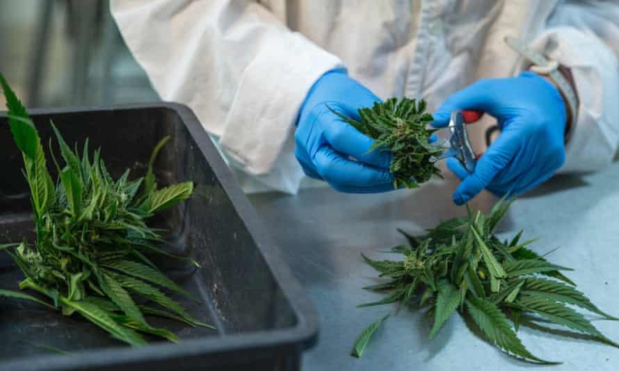 A lab technician preparing medical marijuana