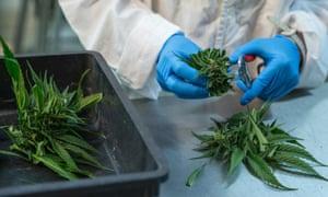 A woman works at a medical cannabis plantation.