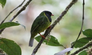 Green-and-black Fruiteater (Pipreola riefferii).