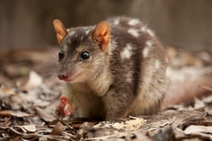 Reseachers are hoping to use cane toad sasuages to create a food aversion in northern quolls to save them from extinction.