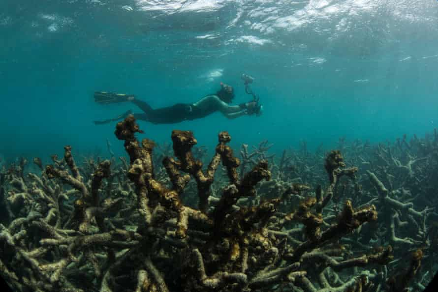 Dead and dying coral covered by seaweed after coral bleaching at Lizard Island, north of Cooktown, on Australia's Great Barrier Reef.