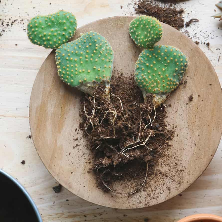 Cactus lying on wooden plate