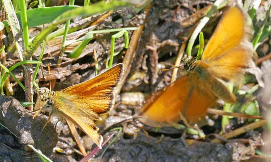 Small skipper butterflies at the site of a former colliery at Willington, Country Durham
