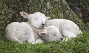 Spring lambs asleep by a tree at Ickworth, Suffolk