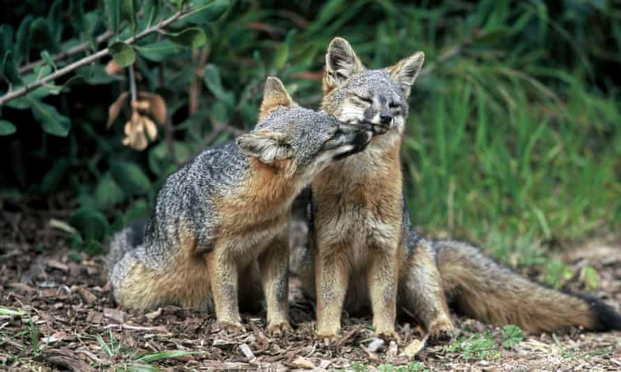The island fox is one of the smallest canids in the world, around the size of a domesticated cat