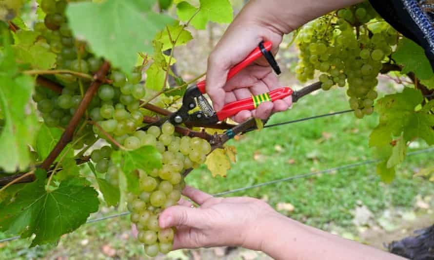 Grape picking