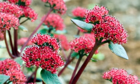 Gardening tips: plant sedums