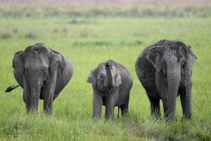 Elephants graze in Kaziranga national park in Assam, north-east India