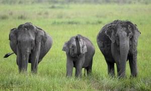 Elephants graze in Kaziranga National Park, Assam, India.